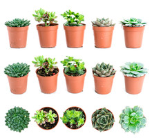 Set Of Pot Plant Echeveria And Other Succulents In Different Typ