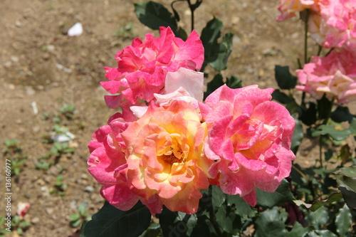 In de dag Candy roze バラ/リオ・サンバ(山形県)