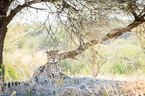 Gepard (Acinonyx jubatus) mit Senderhalsband, Okonjima AfriCat Foundation, Otjiwarongo