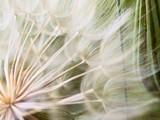 Tragopogon pseudomajor S. Nikit. Dandelion - 136167900