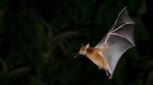 Bat, Greater Shortnosed Fruit Bat Flying At Night