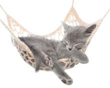Cute Gray Kitten Sleeping In Hammock