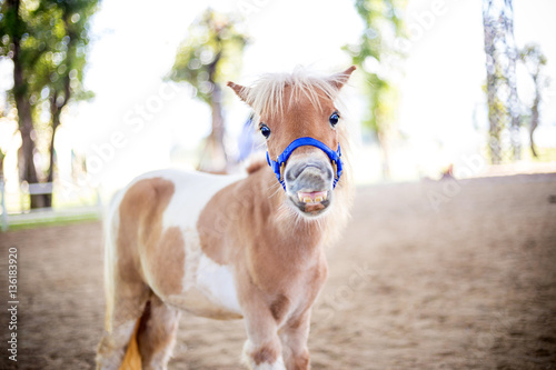 Photo Shetland pony smile face