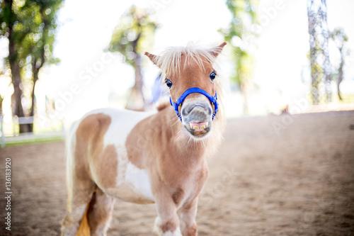 Fotografie, Obraz Shetland pony smile face