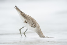 A Willet Dunks Its Head Under The Shallow Ocean Water Searching For Food In Front Of A Solid White Background On An Overcast Day.