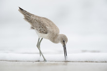 A Willet Pushes Its Long Bill Into The Wet Sand On A Beach In Soft Overcast Light With A Solid White Background.