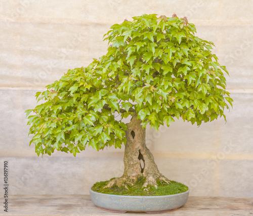 Green bonsai tree in a ceramic pot