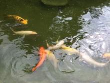 Fish, Water, Pond, Koi