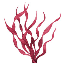 Red Seaweed Watercolor Hand Painted Element Isolated On White Background. Watercolor Illustration Design.