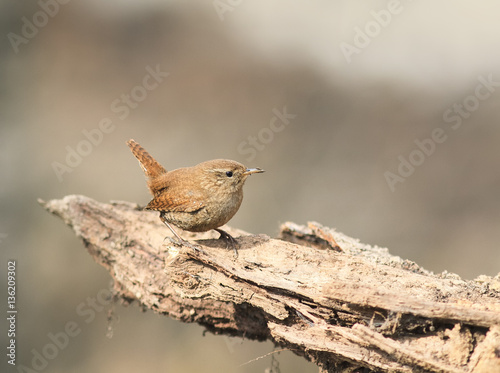 Valokuvatapetti a small bird the Wren is sitting on the root of the tree in the