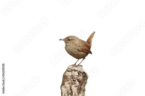 Fotografie, Obraz  bird Wren sitting on the root of the tree in the spring in the f