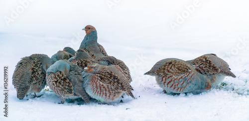 Photo Group of wild grey partridges