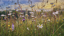 Old Hay Meadow With Wild Flowe...