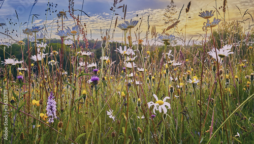 Photo Old Hay Meadow with Wild Flowers in the Sussex Weald