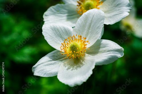 White daffodil flower in the fieldin garden daffodil flowers in white daffodil flower in the fieldin garden daffodil flowers in sunlighteld mightylinksfo