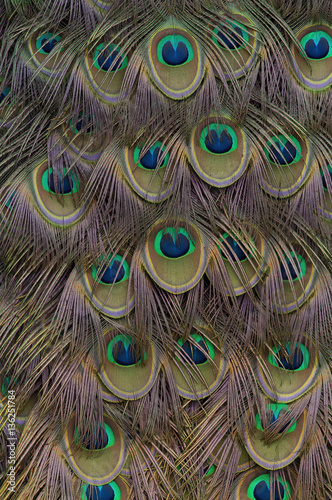 Fotografie, Obraz  Indian peacock tail feathers.