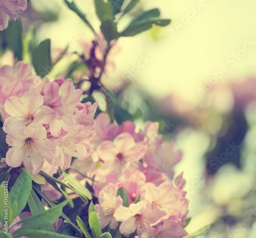 Plakat Kwitnienie świeżego przetargu Różanecznik maksymalna różowe kwiaty z zielonymi liśćmi w okresie wiosennym. Naturalny kwiecisty sezonowy wakacyjny tło z kopii przestrzenią.