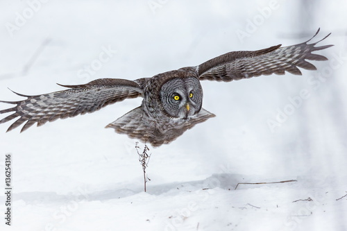 Fotobehang Uil The great grey owl or great gray is a very large bird, documented as the world's largest species of owl by length. Here it is seen searching for prey in Quebec's harsh winter.