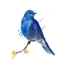 Bird Bluebird Watercolor Illustration Greeting Card Isolated On White Background