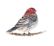 Bird Watercolor Painting Sitting On The Branch Isolated On White Background