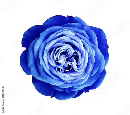 Blue White Rose Flower White Isolated Background With Clipping Path