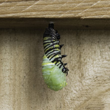Striped Monarch Butterfly Caterpillar In Process Of Transforming To Chrysalis While Hanging From Wood Fence