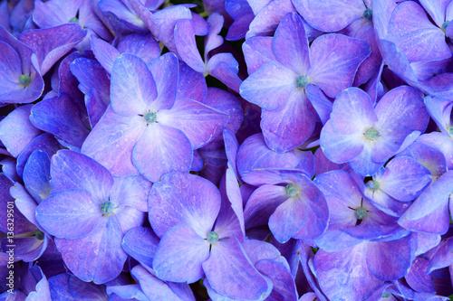 Deurstickers Hydrangea Macro image of Blue Hydrangea flower.