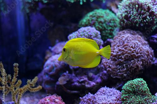 Photo  Zebrasoma Yellow Tang