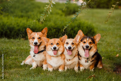 four Corgi dog sitting on the grass Wallpaper Mural