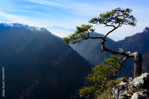 Old pine tree on peak of mountain - 136344171