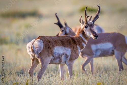 Antelope out front in a group