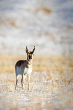 Single Antelope