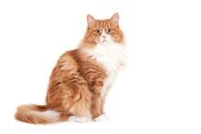 Red Siberian Cat On White Back...