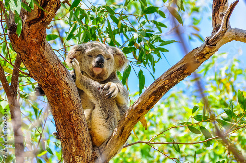 Sleepy koala in Magnetic Island, Australia