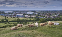 Cattle Grazing On Dunstable Blows Downs In Summer