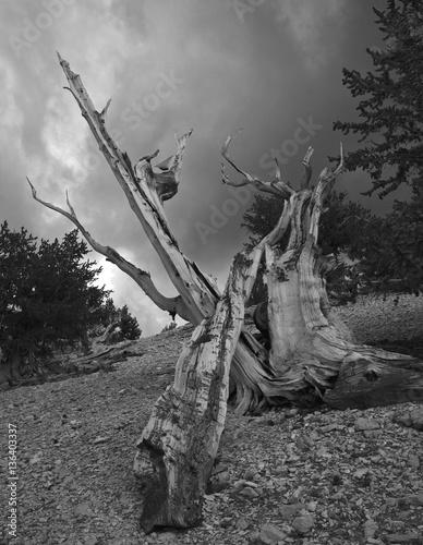 Photo Ancient Bristlecone Pine, California