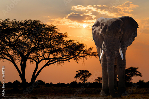 Poster Afrika Africa sunset over acacia tree and elephant