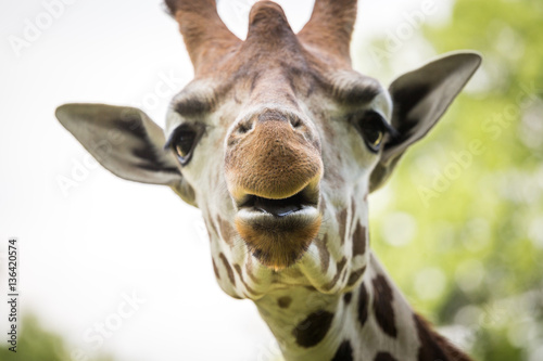 Fototapety, obrazy: Close up of beautiful giraffe
