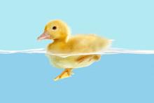 Duckling First Swim