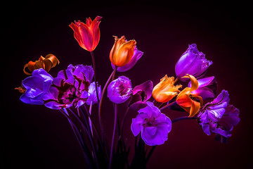 Obraz na SzkleNeon colors in the dark. Tulips on a black background. Flowers f