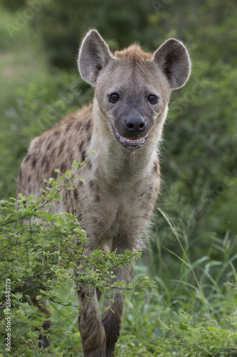 Papiers peints Hyène Portrait of free roaming african spotted hyena