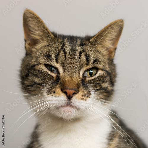 Kot środkowoeuropejski blisko.