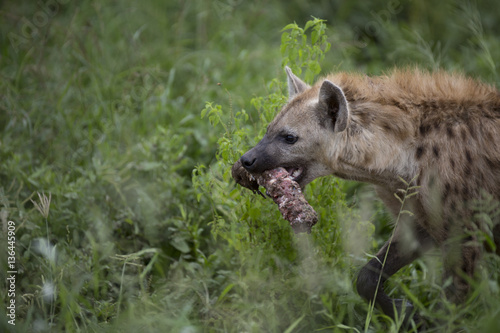 Foto op Aluminium Hyena Portrait of free roaming african spotted hyena