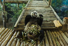 Funny Panda Eating Bamboo In C...