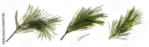 Obraz Pine branch or twig isolated - fototapety do salonu