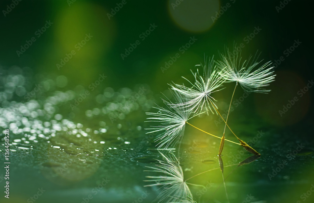 Fototapety, obrazy: Seeds dandelion mirror reflection on Dark green background and drops dew sparkle with a beautiful golden bokeh. Wallpaper template background for design.