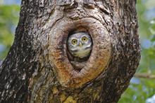 Spotted Owlet Athene Brama Nes...