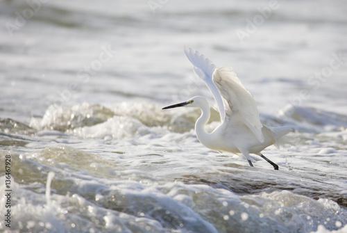 Photo Belle aigrette en bordure de plage
