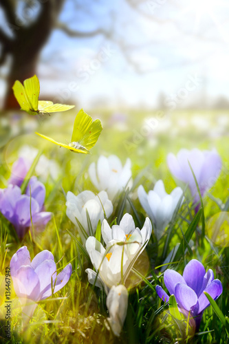 Fototapety, obrazy: Spring flower and fly butterfly