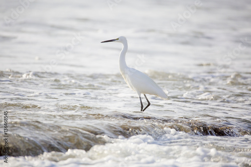 Belle aigrette en bordure de plage Canvas Print